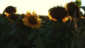 Blomningsolrosor på en bakgrundssolnedgång Jordbruk arkivfilmer
