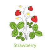 Blomningstrawbbery med mogna frukter och blommor p? vit bakgrund ocks? vektor f?r coreldrawillustration stock illustrationer