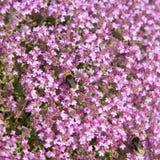 blomningtimjan Fotografering för Bildbyråer