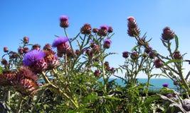 Blomningtistel mot blåa himlar Royaltyfri Foto