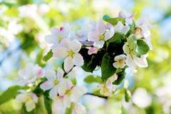 Blomningträd över blommor för naturbakgrundsvår/vår (bakgrund) Fotografering för Bildbyråer