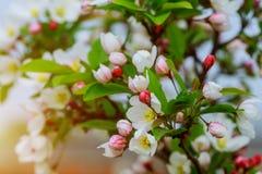 Blomningträd över naturbakgrund rosa fjäder för blommor yellow för fjäder för äng för bakgrundsmaskrosor full Fotografering för Bildbyråer