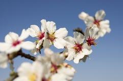 Blomningträd. Royaltyfria Foton