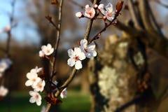 Blomningträd arkivbilder