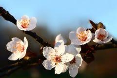 Blomningträd arkivfoton