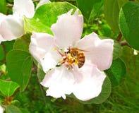 Blomningträd Arkivfoto