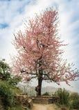 Blomningträd i bergen och flickan med a Arkivfoton