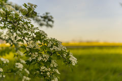 Blomningträd i det gula fältet Royaltyfri Foto
