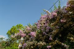 Blomningträd Korfu, Grekland arkivbilder
