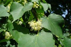 Blomningträd - limefrukt Royaltyfria Foton