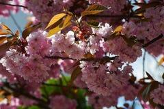 Blomningträd, Sakura Arkivfoto