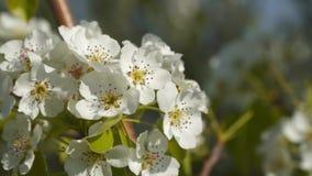 Blomningträd täta blommor upp stock video