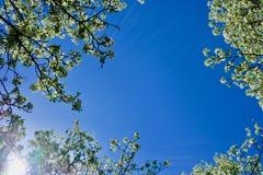 Blomningträd underifrån med blå himmel bakom royaltyfria foton
