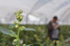 Blomningtranbärväxt Royaltyfri Fotografi