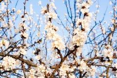 Blomningtreen fjädrar in Royaltyfria Foton