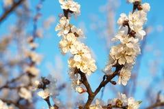 Blomningtreen fjädrar in Royaltyfri Bild