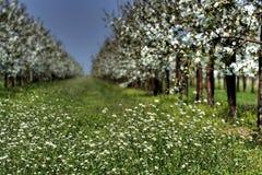 blomningtrees Royaltyfri Fotografi