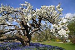 blomningtreewhite Arkivfoto