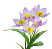 blomningtulpan Royaltyfri Fotografi
