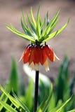 Blomningtulpan på våren royaltyfria foton