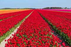 Blomningtulpanfält Royaltyfri Fotografi
