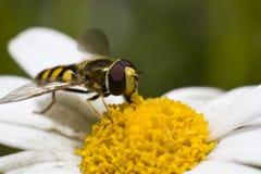 blomningtusensköna hoverfly Arkivfoto
