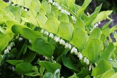 Blomningväxt av Polygonatummultiflorumen Royaltyfri Bild