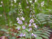 Blomningväxten med lilor blommar utomhus royaltyfria foton