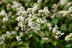 Blomningväxter av bovete Fotografering för Bildbyråer