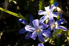 Blomningväxter Hionodoksa Fotografering för Bildbyråer