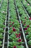 Blomningväxter i vår i växthuset Fotografering för Bildbyråer