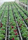 Blomningväxter i vår i växthuset Royaltyfria Foton