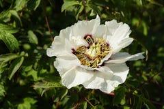 Blomningv?xter i v?r kunna Stort blommapionträd Ljusa färger och färger av naturen royaltyfria foton