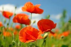 blomningvallmor Royaltyfri Fotografi