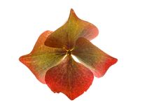 blomningvanlig hortensiawhite Royaltyfri Fotografi