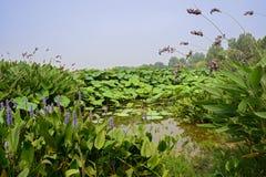 Blomningvattenväxter i lotusblommadammet på solig sommardag Arkivbild