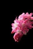 Blomningvinbär Royaltyfri Fotografi