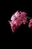 Blomningvinbär Royaltyfri Foto