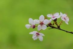 Blomningvit/rosa träd och nyckelpiga Royaltyfri Foto