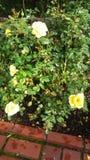 Blomningviter Arkivfoton