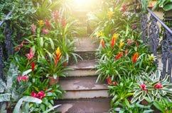 Blomningvrieseaväxter i krukor på trappan av den tropiska fuktiga skogen Fotografering för Bildbyråer