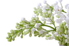 blomningwhite arkivfoto