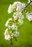 blomningwhite Arkivfoton