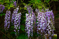 BlomningWisteria Arkivfoto