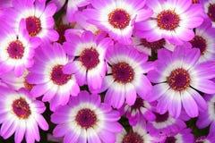 Blomsterhandlarecinerariablommor Arkivfoton