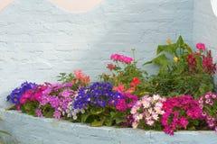 Blomsterhandlarecinerariablommor Arkivfoto