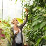 Blomsterhandlarekvinna som arbetar i växthus Royaltyfria Bilder