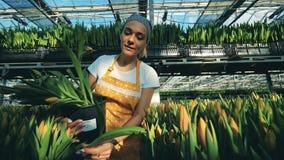 Blomsterhandlaren sätter tulpanblommor in i en hink som samlar dem från en jordning lager videofilmer
