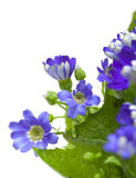 Blomsterhandlares Cineraria Arkivbild