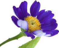 Blomsterhandlares Cineraria Fotografering för Bildbyråer